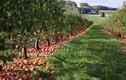 Ngắm những vườn táo sai trĩu quả đẹp mê mẩn