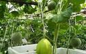 Vườn dưa lê, đu đủ sai trĩu dù chỉ trồng trong thùng xốp