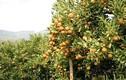 Ngắm những vườn cây sai trĩu quả, hái ra tiền ở Việt Nam