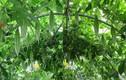 """Mẹ Việt xứ Đài trồng vườn rau """"gì cũng có"""" để đỡ nhớ nhà"""