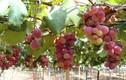 """""""Lạc trôi"""" trong vườn nho siêu đắt 8 triệu đồng/quả"""