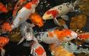 Chiêm ngưỡng những hồ cá Koi bạc tỷ của đại gia Việt