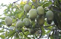 Thích thú ngắm vườn xoài Yên Châu trĩu quả sắp xuất khẩu