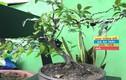 """""""Phát sốt"""" bonsai nho thân gỗ mini siêu độc chơi Tết"""