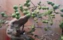 Ngắm ổi bonsai dáng thế siêu đẹp chơi Tết 2018