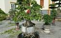 Mỏi mắt ngắm bonsai có rễ cây cực nghệ thuật