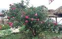 """Cách """"thúc"""" hồng cổ Sapa ra hoa trúng Tết"""
