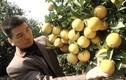 Cây cam Xã Đoài nghìn quả ở xứ Nghệ