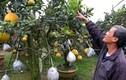 Đỉnh của đỉnh ghép 10 loại quả vào một cây cùng chín dịp Tết