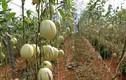 """""""Lạc trôi"""" vào xứ sở toàn rau, củ quả siêu khủng ở Đà Lạt"""