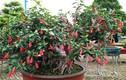 Hoa dâm bụt hàng rào thành bonsai siêu đẹp chơi Tết