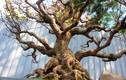 Mai bonsai cổ thụ bạc triệu ùn ùn xuống phố tìm đại gia dịp Tết