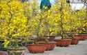 Mai vàng miền Nam bán sớm ở chợ hoa Tết Hà Nội