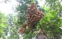 Loạt hoa quả trái vụ giúp nông dân Việt hốt bạc triệu