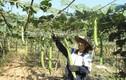Những giàn mướp hương hái ra tiền của nông dân Việt