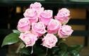 Cận cảnh hoa hồng kim cương độc lạ gây sốt thị trường