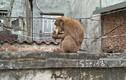 """Video: Khỉ hoang """"đại náo"""" phố cổ Hà Nội, leo đầu người... bắt chấy"""