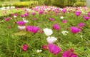 Ngỡ ngàng những vườn hoa mười hoa giờ hái ra tiền