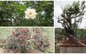 Những cây hồng cổ nổi tiếng ở Việt Nam