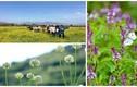 """Những cánh đồng rau gia vị đẹp ngẩn ngơ, """"hốt"""" bạc triệu"""