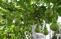 7 loại rau quả leo giàn dễ trồng trong chậu phù hợp với nhà chật
