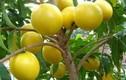 Độc lạ vú sữa vàng óng được trồng ở Việt Nam