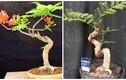 Mê tít những chậu bonsai hoa phượng đỏ