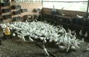 Những triệu phú làm giàu từ chim bồ câu