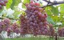 """Mãn nhãn thiên đường trái cây """"hốt bạc"""" ở Nhật Bản"""