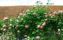 10 loại hoa chịu nắng nóng tốt, dễ trồng mùa hè