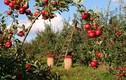 Thăm vườn táo 300 tuổi đẹp như thiên đường ở Mỹ