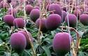 Tận mục quy trình trồng giống xoài đắt nhất thế giới