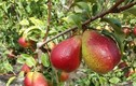 Đột nhập vườn lê Nam Phi trĩu quả, ngon nổi tiếng