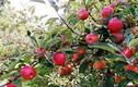 Táo Envy đắt đỏ được trồng như thế nào?