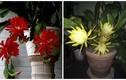 Ngắm những chậu hoa quỳnh cảnh đẹp ngây ngất