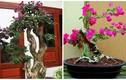 Mãn nhãn loạt bonsai hoa giấy đẹp hút hồn