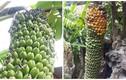 Kinh ngạc những buồng chuối nghìn quả của nông dân Việt