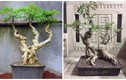 Mãn nhãn loạt bonsai đinh lăng siêu lạ mắt