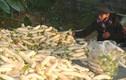 """Mùa thu hoạch """"nhân sâm trắng"""" lãi tiền triệu ở Nghệ An"""