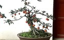 Hồng đá bonsai - Mốt chơi cây cảnh tiền tỷ Tết Kỷ Hợi 2019