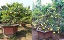Phát sốt chanh vàng tứ quý bonsai tiền triệu chơi Tết