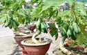 Đu đủ bonsai dáng siêu độc bung hàng đón Tết