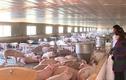 Đầu năm Kỷ Hợi, xem trang trại lợn độc nhất vô nhị ở Việt Nam