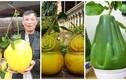 Những giống bưởi độc tiền triệu hút khách dịp Tết