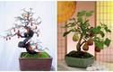 Mãn nhãn loạt bonsai có trái chơi Tết cực độc