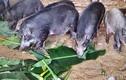 Dành cả tuổi thanh xuân nuôi cả lợn ta, lợn tây, bán 100 tấn/năm
