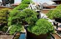 Chiêm ngưỡng loạt cây bonsai nghìn năm tuổi