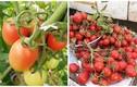 Ngây ngất những vườn cà chua trĩu quả trên sân thượng