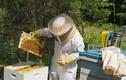 Cảnh sản xuất mật ong siêu sạch chỉ có ở Cuba