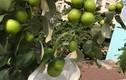 Thích thú ngắm những vườn táo trĩu quả trên sân thượng
